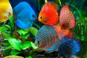 Discus Fish – Ikan Hias